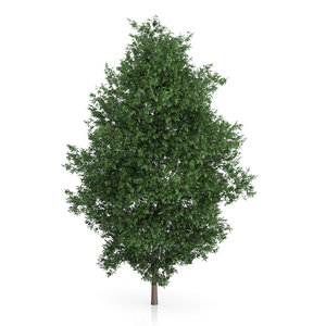 3d model large-leaved lime tree tilia