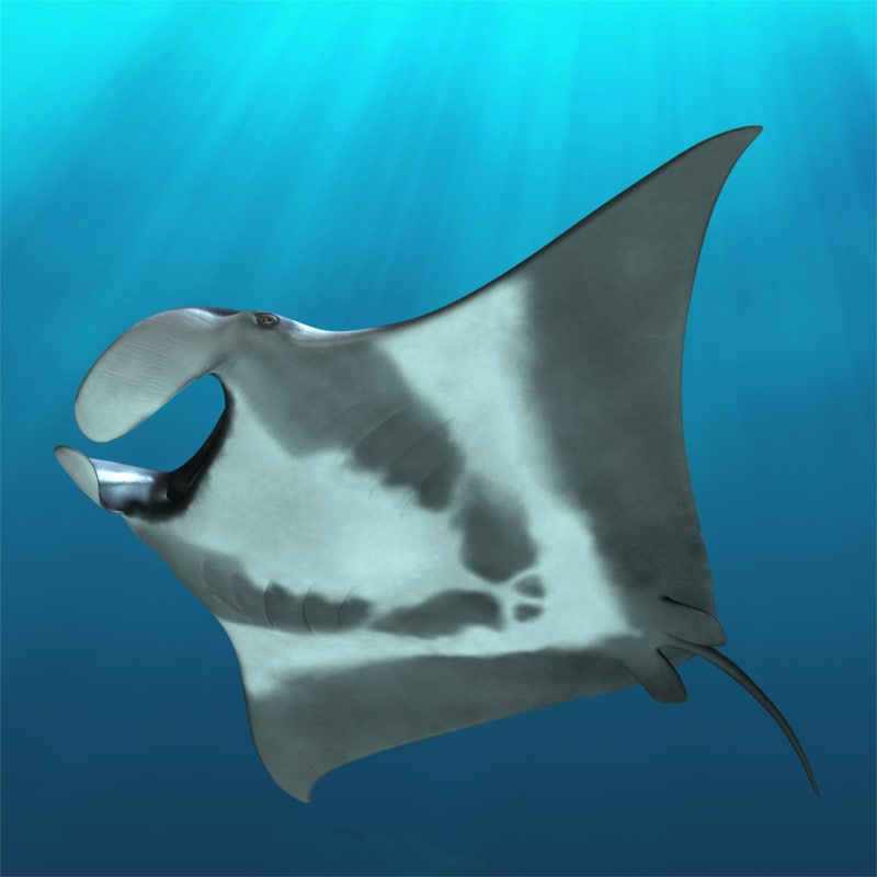 manta birostris giant oceanic 3d model