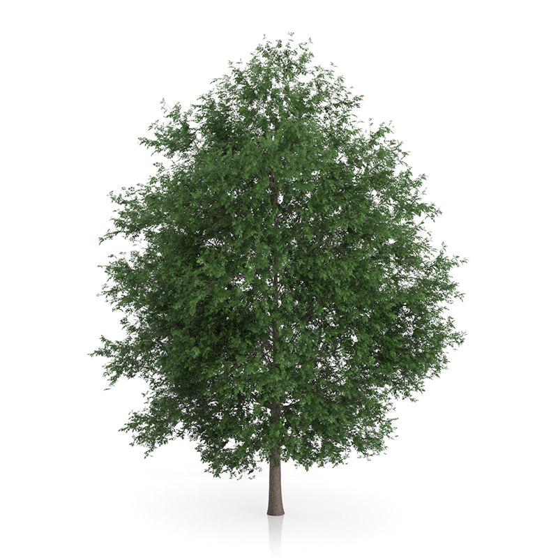 large-leaved lime tree tilia max
