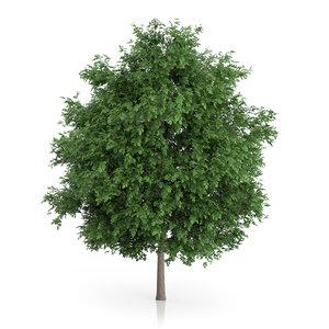 large-leaved lime tree tilia 3d model