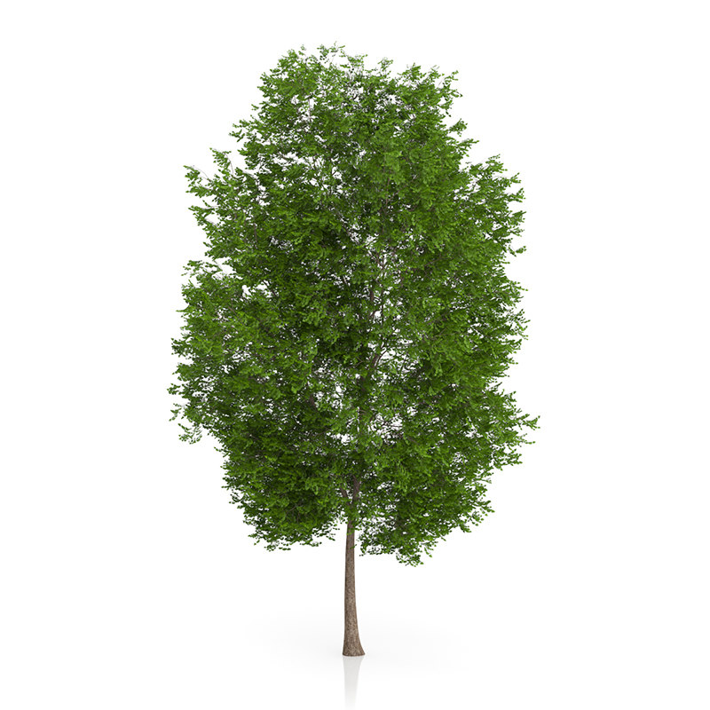 3d model maidenhair tree ginkgo biloba