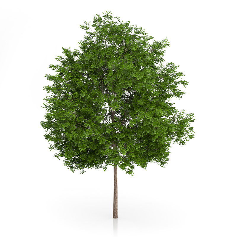 3d maidenhair tree ginkgo biloba model