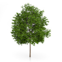 Maidenhair Tree (Ginkgo biloba) 6.3m