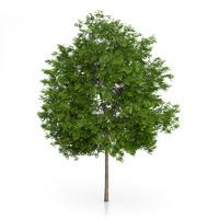 3d maidenhair tree ginkgo biloba model