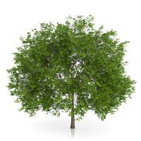 3d maidenhair tree ginkgo biloba