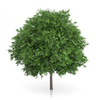3d common walnut tree juglans model