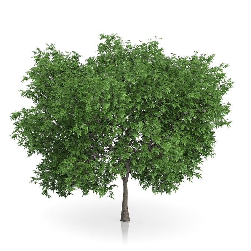 3d common walnut tree juglans