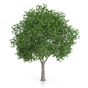 london plane tree platanus 3d obj