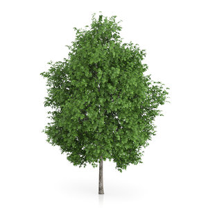 3d london plane tree platanus