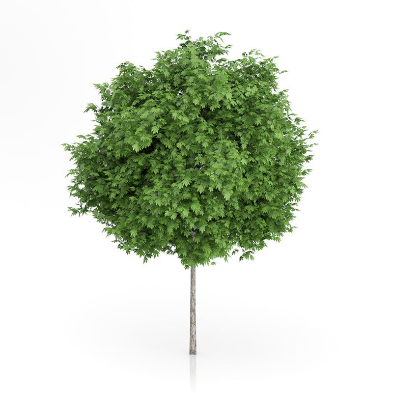 london plane tree platanus 3d model
