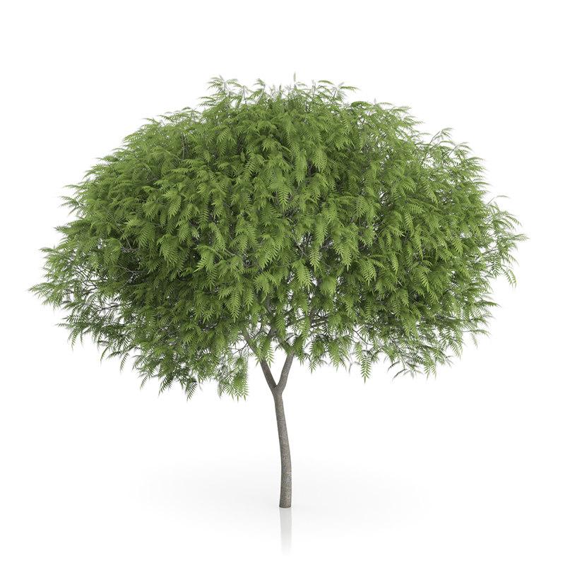 staghorn sumac tree rhus max