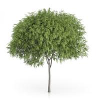 Staghorn Sumac Tree (Rhus typhina) 6.9m