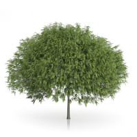 3d staghorn sumac tree rhus