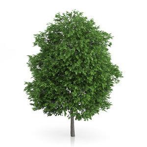 cigar tree catalpa bignonioides 3d max