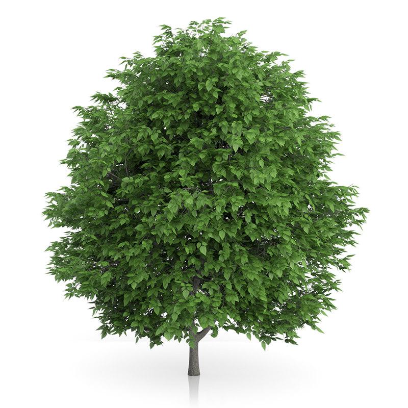 cigar tree catalpa bignonioides max