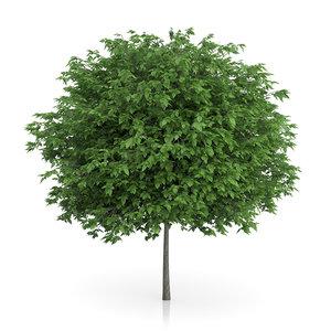 3d cigar tree catalpa bignonioides