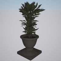 Plant Dracaena Fragrans Cintho 1