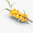sea buckthorn 3D models