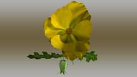 maya argemone flowering
