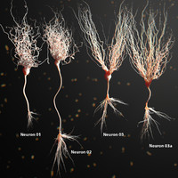 3d model of neuron anatomy