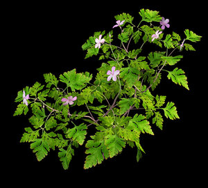 maya flowering geranium