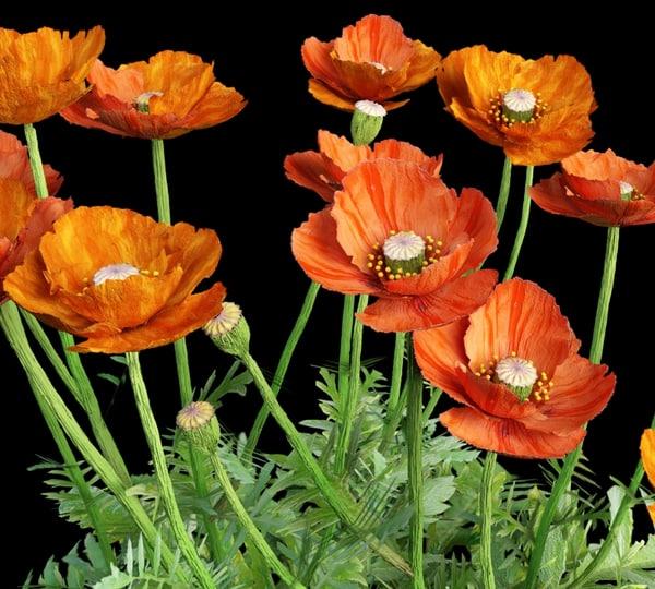 3ds max bush flowering poppy leaves