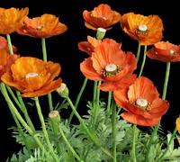 Oriental poppy papaver orientale