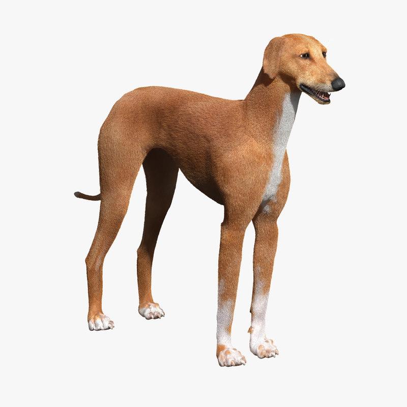 max azawakh dog fur