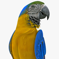 blue gold macaw rigged max