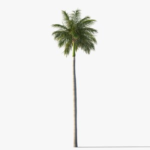 royal palm tree 3d model