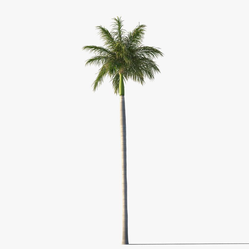 max royal palm tree