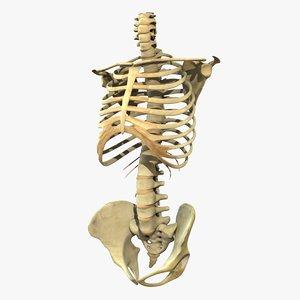 skeleton torso 3d obj