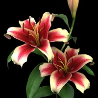 lily (dark red lily)