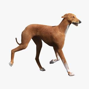 3d model azawakh dog fur