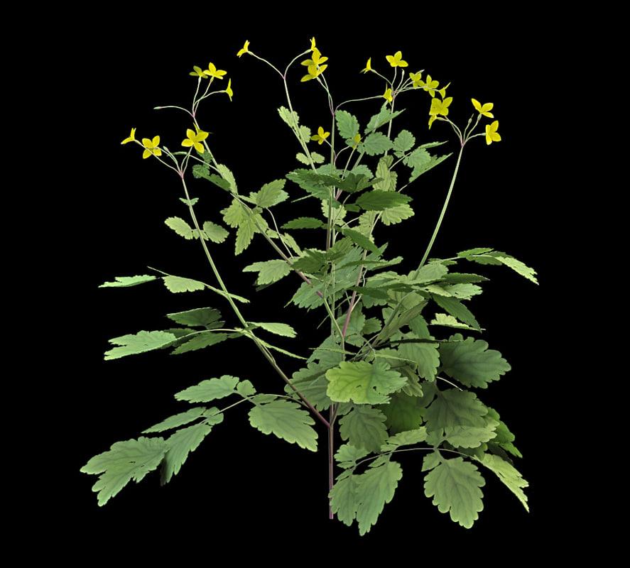 flowering chelidonium 3d model
