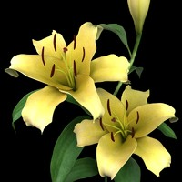 lily flowers 3d ma