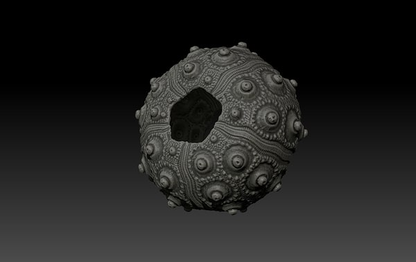 3d shell sea urchin