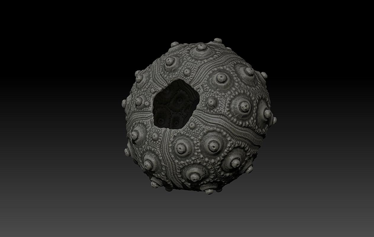 3d shell sea urchin