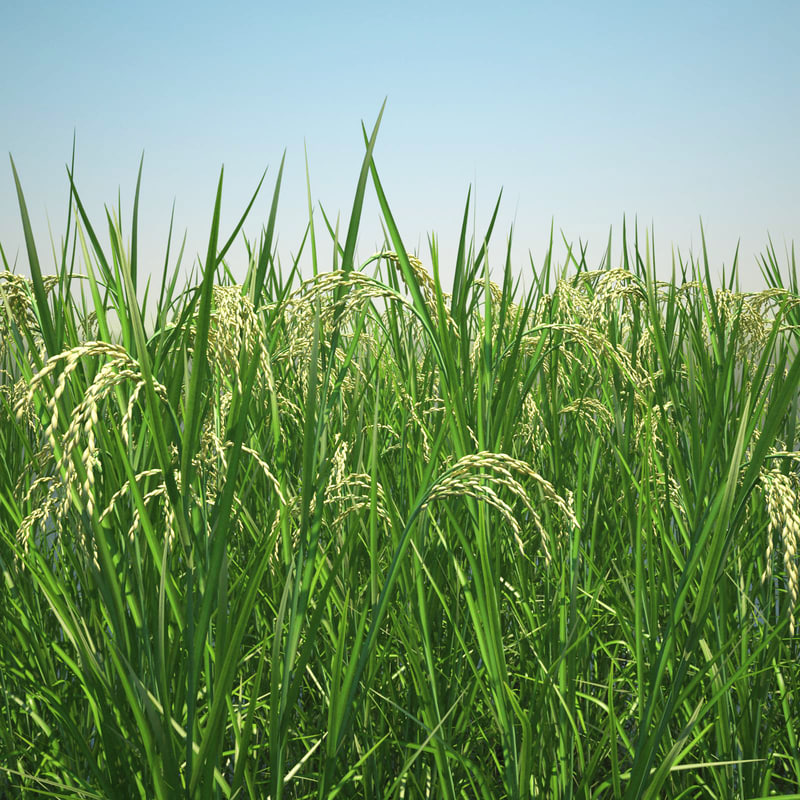 3ds max oryza asian rice fields
