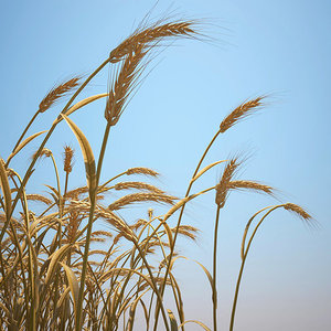 emmer wheat 3d model
