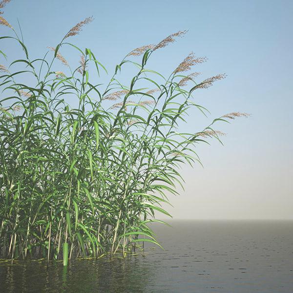 phragmites common reed grass obj