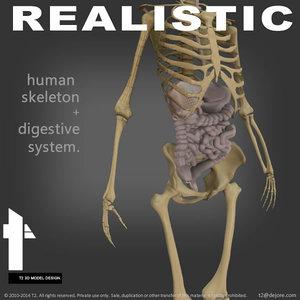 human skeletal digestive max
