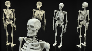 skeleton body 3d obj