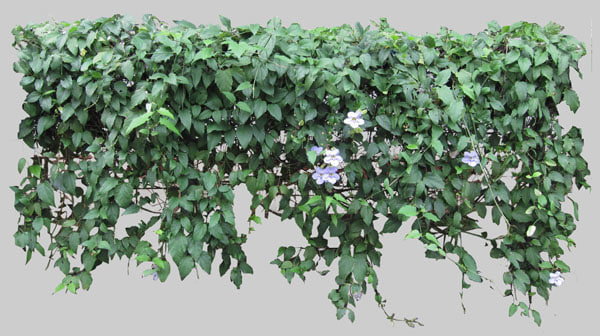 Fence png transparent images png all - Texture Png Thunbergia Grandiflora Vines