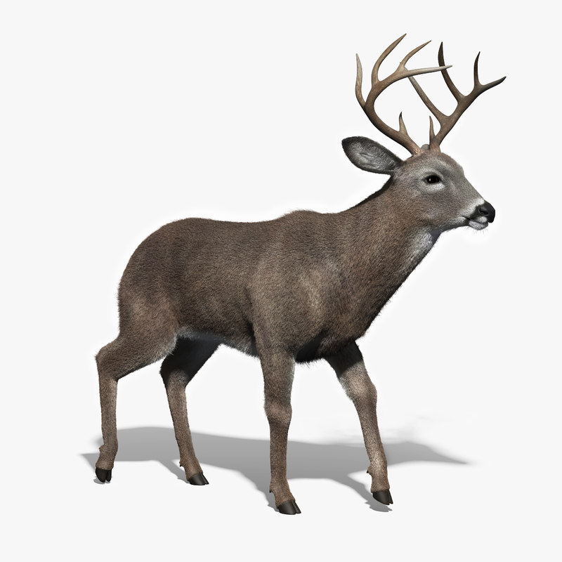 3d white tailed deer fur model