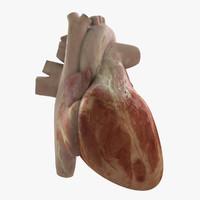 heart realistic human obj