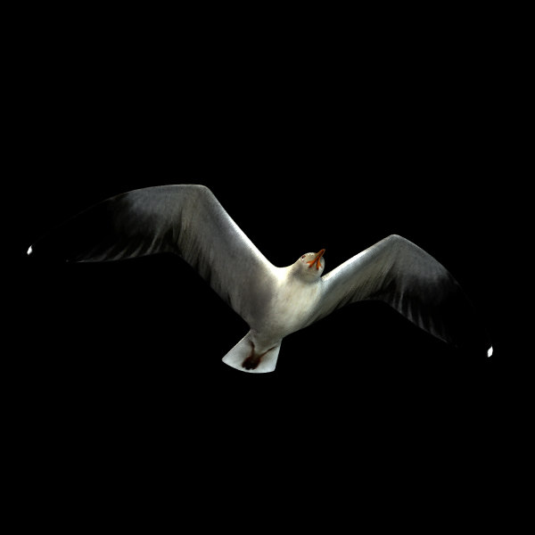 3d model gull anition