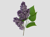 max violet lilac