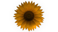 Achene fruit SunFlower