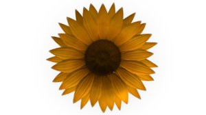 obj achene fruit sunflower